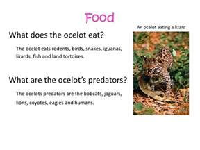 What Does A Jaguar Eat In The Tropical Rainforest My Zoo Project