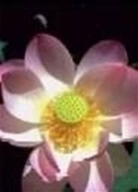 significato fior di loto significato loto significato dei fiori conoscere il