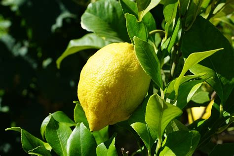 pianta limone in vaso cura come coltivare i limoni coltivazione
