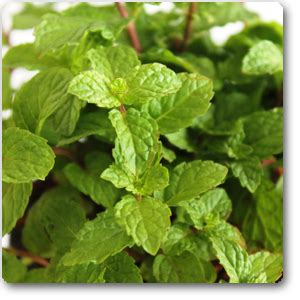 buy mentha piperita peppermint plant   nursery   plants  lowest price