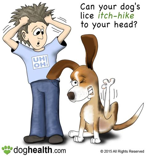can dogs get lice from humans pediculosis lice in dogs doghealth