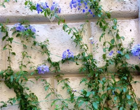 Garden Wall Trellis Easy Way To Train Twining Vine Plants On Walls Fences And
