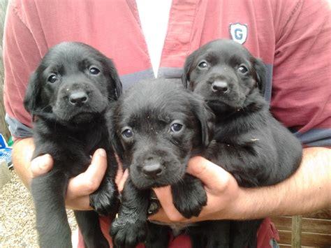 springador puppies springador puppies for sale norwich norfolk pets4homes