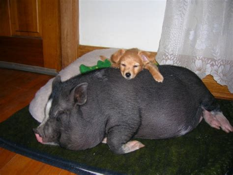 pot belly pig ownership the blog of potbellied pigs