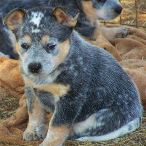 heeler puppies blue heeler puppies