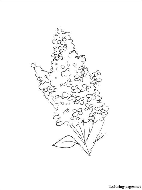 lilacs coloring page  kids coloring pages