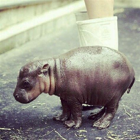 house hippo do you think if i got a baby hippo i can raise it into a wonderful pet that wouldn t hurt me
