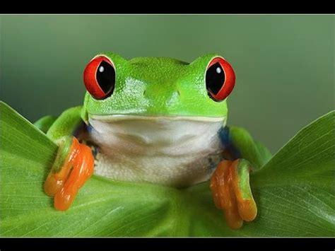 imagenes d ranas alegres 8 curiosidades de las rana youtube