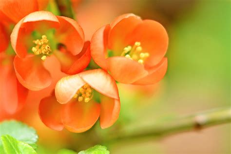flower quince wallpaper pink petaled flower in closeup photography flowering