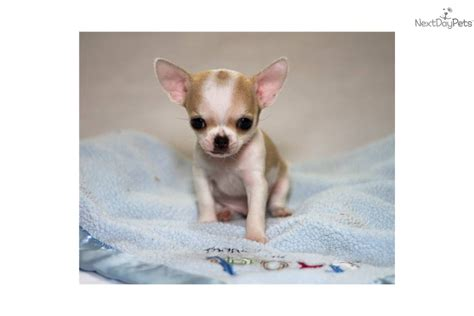 applehead chihuahua puppies for sale teacup applehead chihuahua puppies breeds picture