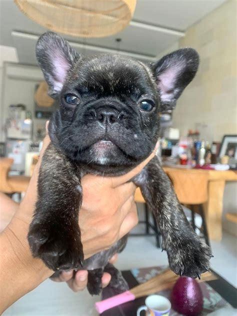 sale french bulldog puppies male female anjing