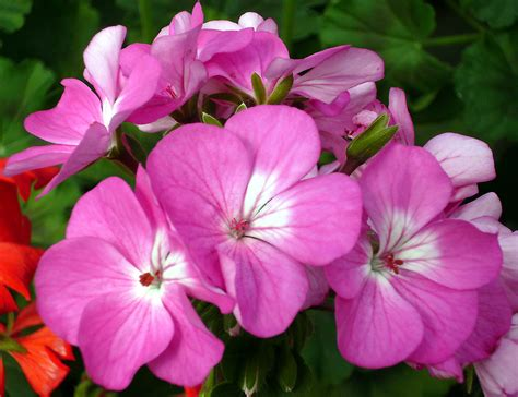 file pink and white flowers jpg wikimedia commons