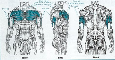 muscle groups used in bench press barrett s fitness witness the fitness chest press