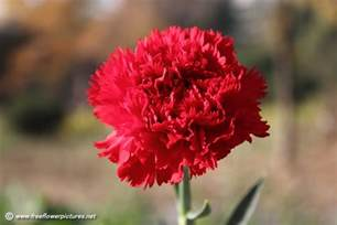 carnation flower red carnation flower picture flower pictures 4259