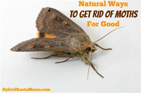 Bay Leaves And Pantry Moths by Ways To Get Rid Of Moths For Hybridrastamama