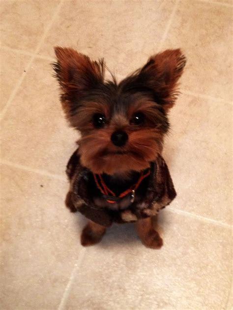 boy yorkie puppies 157 best yorkies images on yorkies terriers and yorkie