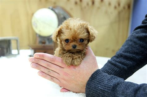 tiny teacup poodle puppies for sale images of teacup poodle puppies for sale wallpaper breeds picture