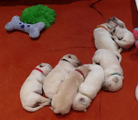golden retriever breeders ottawa golden retriever puppies perth ontario one hour west of ottawa three