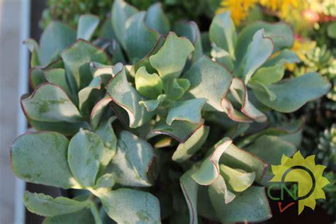 nomi piante e fiori piante grasse pendenti piante grasse coltivare piante
