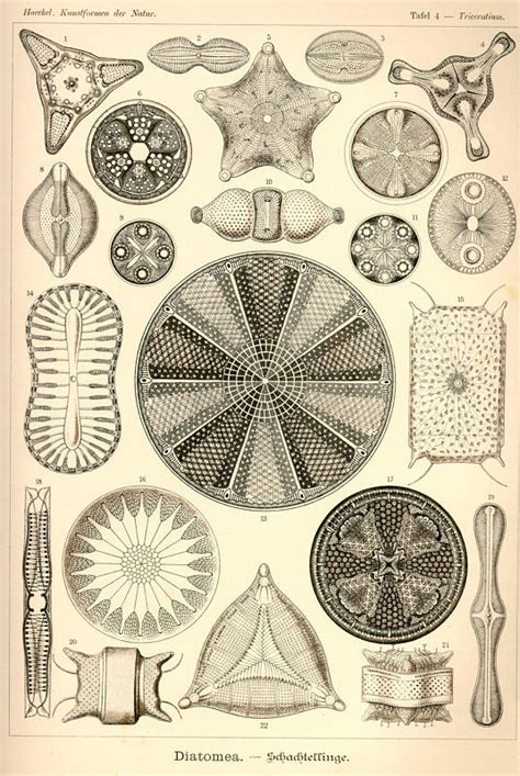 the and science of ernst haeckel multilingual edition books ernst haeckel kunstformen der natur tafel 4