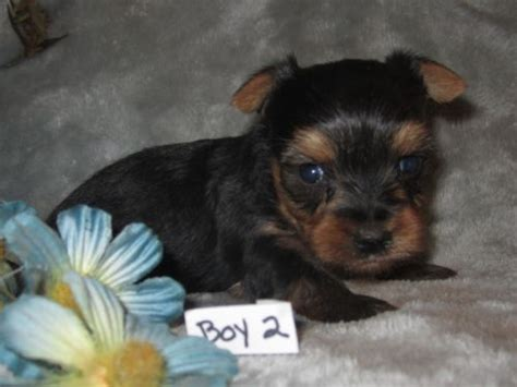 teacup yorkie for sale in st louis mo 66 best images about terrys yorkies puppies on terry o quinn boys and health