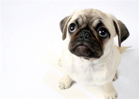 wrinkly breeds slideshow 8 most wrinkled breeds