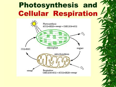 cell energy photosynthesis and respiration section 6 1 chapter 4 ecosystems energy chapter 4 ecosystems