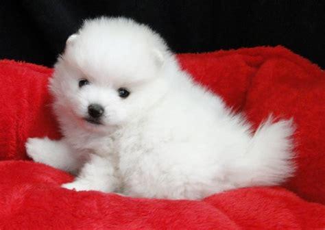 pomeranian breeders montreal white pomeranian puppies