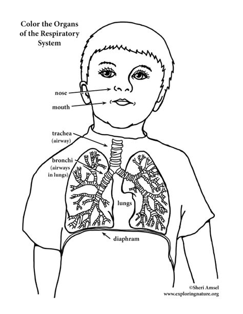 Respiratory System Coloring Sheet Coloring Pages Respiratory System Coloring Page