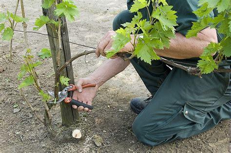 comment tailler une treille de raisin quand et comment tailler la vigne choix des sarments