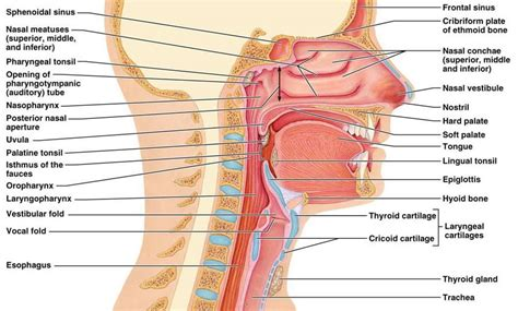 labeled diagram of and throat sinus cavity diagram throat diagram labeled human anatomy