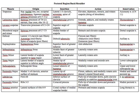 muscle origins and insertions abdominis origin and insertion muscle origins insertions and