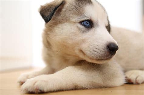 malamute husky puppies for sale siberian husky alaskan malamute puppies for sale pets4homes