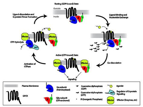G protein-coupled receptor - Wikipedia G Protein Coupled Receptors Gpcrs