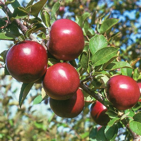 stark nursery fruit trees starkspur 174 arkansas black apple apple trees stark bro s
