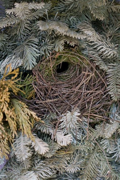 winter wren nest sitka nature