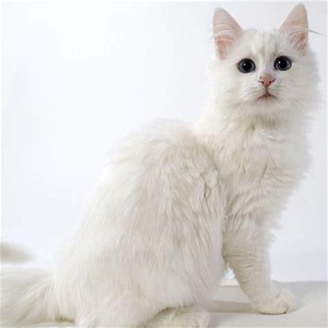 Kucing Anggora Cantik kumpulan gambar kucing anggora cantik dan lucu terbaru 2016
