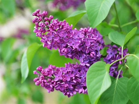 piante e fiori piante e fiori di maggio quali fioriscono e quali coltivare