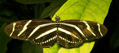 imagenes mariposas grandes imagenes de mariposa grandes imagui