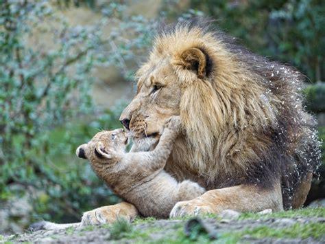 フリー画像素材 動物 哺乳類 ライオン 親子 動物 動物の子供 id 201405051800