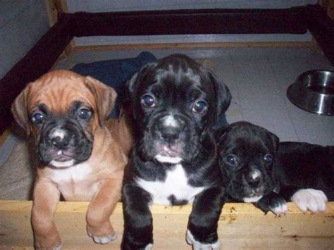 boxer puppies in ohio boxer puppies for sale in ohio zoe fans baby animals