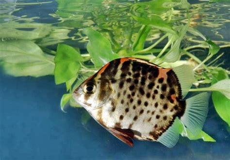 Makanan Ikan Hias Mudah ini dia ikan hias ruby yang cantik serta mudah