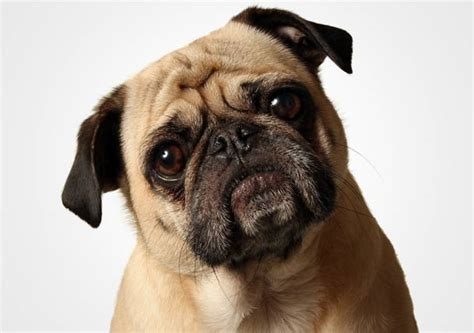 confused pug how fleas hitch rides into your home best reports