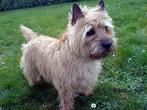 is it ok to cut a cairn terrieris har short then re grow it cairn terriers google search cutest dogs in the world