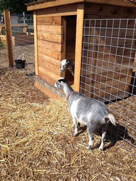 backyard goat farming seattle backyard goats permaculture and urban farming pinterest seattle