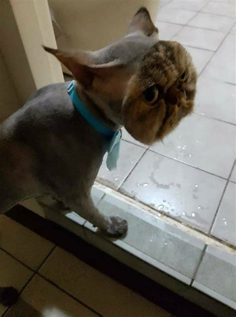 This cat fully shaved  except for its face : pics