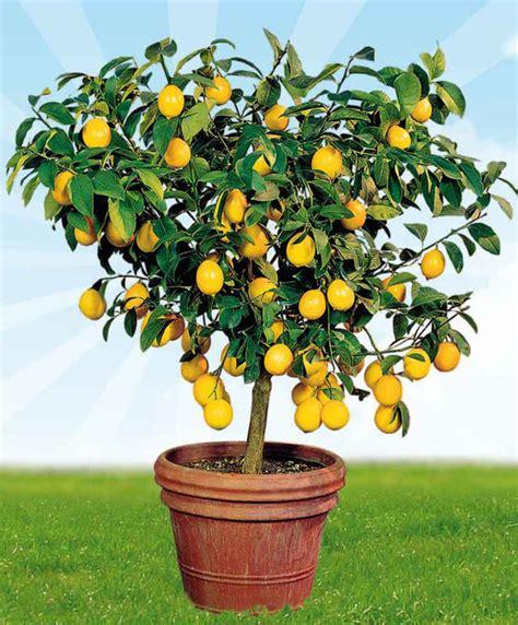 albero di limone in vaso acquista pianta di limone bakker