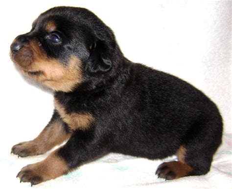 rottweiler and german shepherd mix puppies german shepherd rottweiler mix grown photo happy heaven