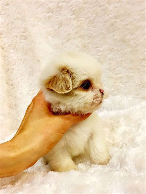 maltipoo puppies for sale in california tiny teacup maltipoo puppy for sale in los angeles california iheartteacups