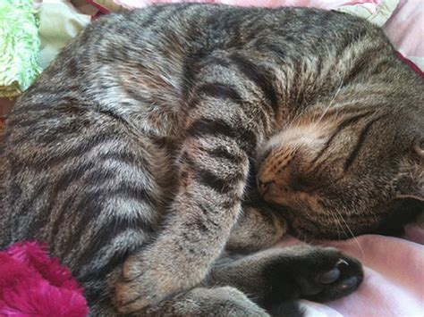 cat pattern types types of tabby patterns pictures to pin on pinterest